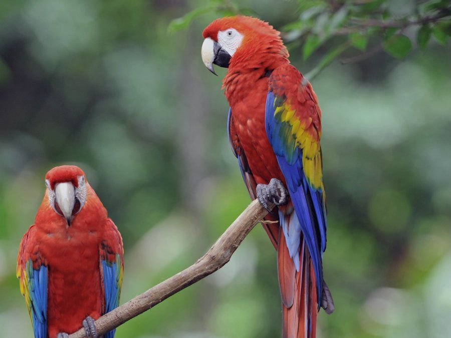 how long do macaws live